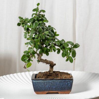 bonsái de interior