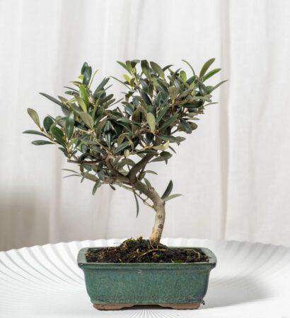 Los mejores bonsáis de interior para nuestra casa